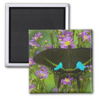 Sammamish, Washington Tropical Butterfly 15 2 Inch Square Magnet