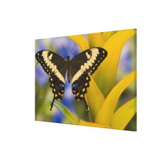 Sammamish, Washington Tropical Butterfly 16 Canvas Print