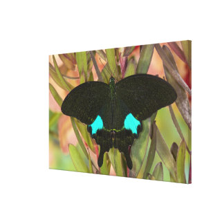 Sammamish, Washington Tropical Butterfly 23 Canvas Print