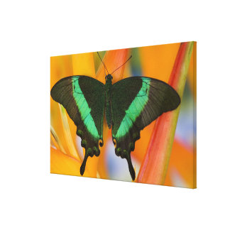 Sammamish, Washington Tropical Butterfly 24 Canvas Print