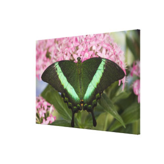 Sammamish, Washington Tropical Butterfly 25 Canvas Print