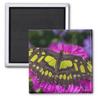 Sammamish, Washington Tropical Butterfly 30 2 Inch Square Magnet