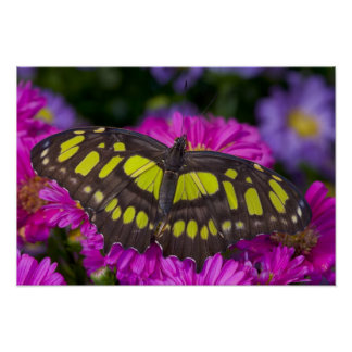 Sammamish, Washington Tropical Butterfly 30 Poster