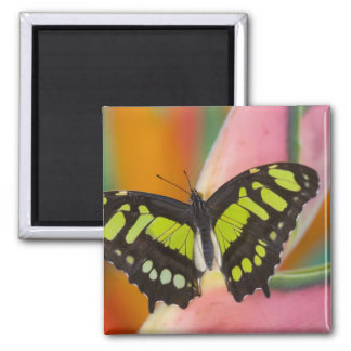 Sammamish, Washington Tropical Butterfly 32 2 Inch Square Magnet