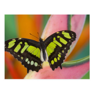 Sammamish, Washington Tropical Butterfly 32 Postcard