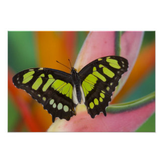 Sammamish, Washington Tropical Butterfly 32 Poster