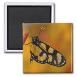 Sammamish, Washington Tropical Butterfly 33 2 Inch Square Magnet