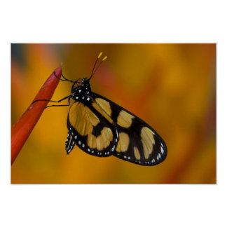Sammamish, Washington Tropical Butterfly 33 Poster