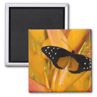 Sammamish, Washington Tropical Butterfly 35 2 Inch Square Magnet