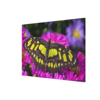 Sammamish, Washington Tropical Butterfly 35 Canvas Print
