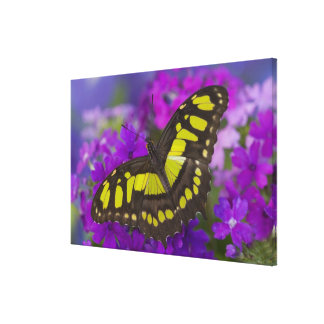 Sammamish, Washington Tropical Butterfly 36 Canvas Print