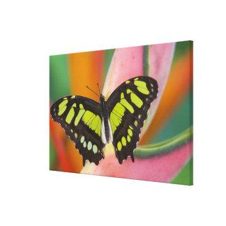 Sammamish, Washington Tropical Butterfly 37 Canvas Print