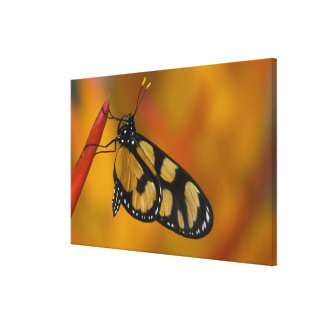 Sammamish, Washington Tropical Butterfly 38 Canvas Print