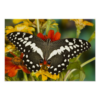 Sammamish, Washington Tropical Butterfly 39 Poster