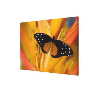 Sammamish, Washington Tropical Butterfly 40 Canvas Print
