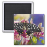 Sammamish, Washington Tropical Butterfly 43 2 Inch Square Magnet