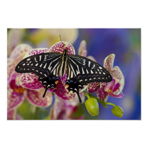 Sammamish, Washington Tropical Butterfly 43 Poster