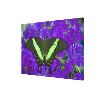 Sammamish, Washington Tropical Butterfly 4 Canvas Print