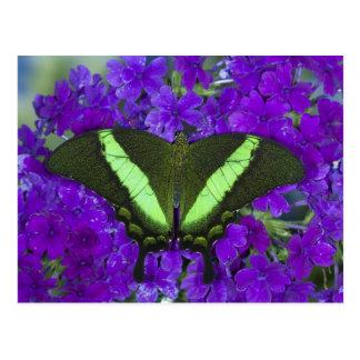 Sammamish, Washington Tropical Butterfly 4 Postcard
