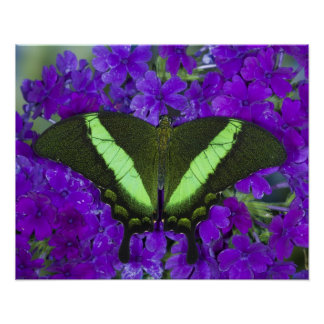 Sammamish, Washington Tropical Butterfly 4 Poster