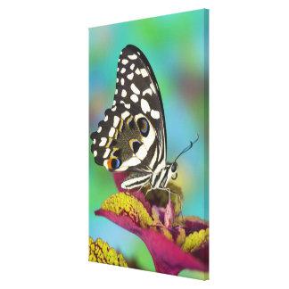 Sammamish, Washington Tropical Butterfly 5 Canvas Print