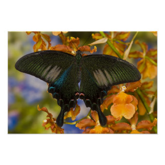 Sammamish, Washington Tropical Butterfly 5 Poster