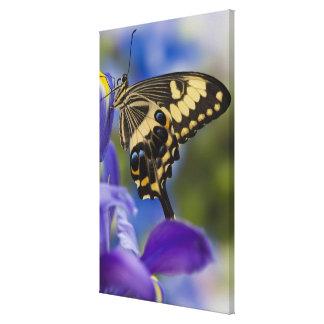 Sammamish, Washington Tropical Butterfly 6 Canvas Print