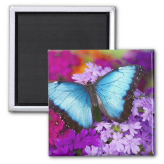 Sammamish Washington Tropical Butterfly 7 2 Inch Square Magnet