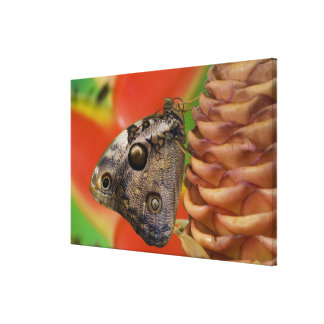 Sammamish, Washington Tropical Butterfly 7 Canvas Print