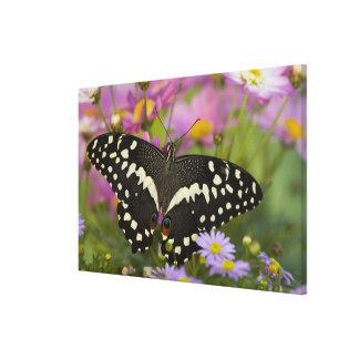 Sammamish, Washington Tropical Butterfly 8 Canvas Print