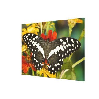 Sammamish, Washington Tropical Butterfly Canvas Print