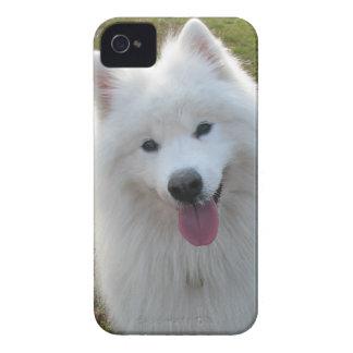 Samoyed dog beautiful photo iphone 4 case mate i/d