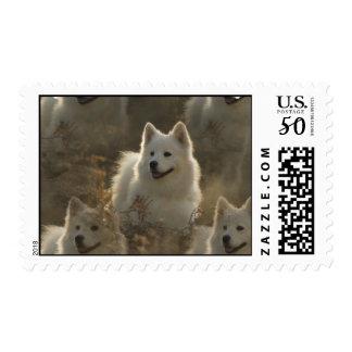 Samoyed Dog Breed Postage Stamp
