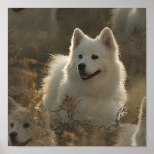 Samoyed Dog Breed Poster