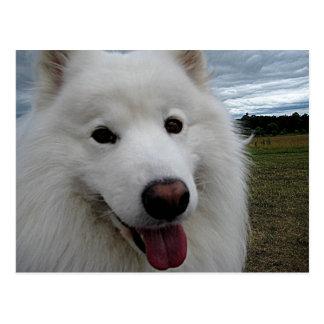 Samoyedo del parque del perro postales