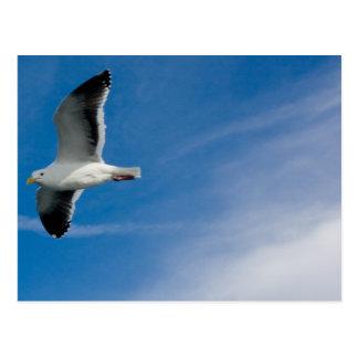 San Francisco Gull Postcard
