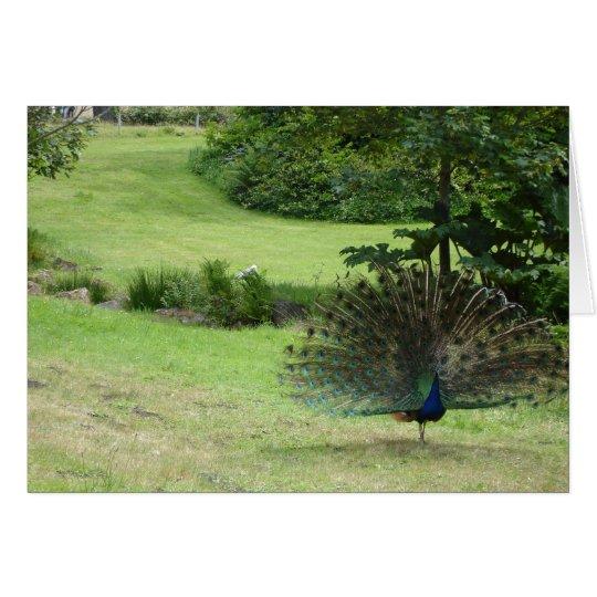 San Francisco Peacock Card