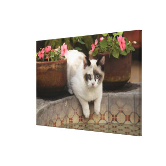 San Miguel de Allende, Mexico. Kitten rests in Stretched Canvas Prints