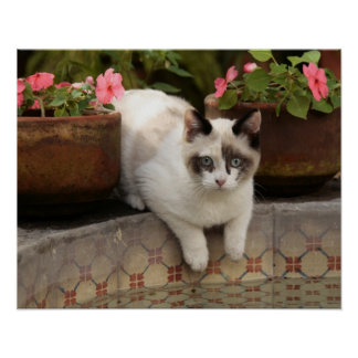 San Miguel de Allende, Mexico. Kitten rests in Poster