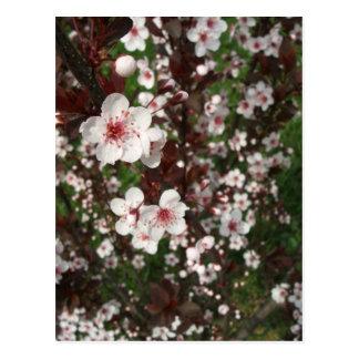 Sand Cherry Bush Postcard