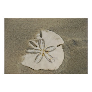 Sand dollar at the Beach Poster