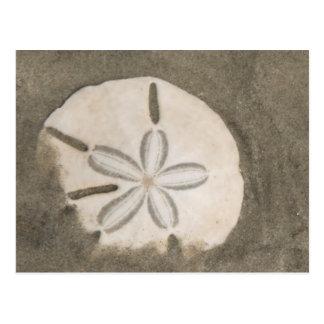 Sand dollar (Echinarachnius parma) Postcard