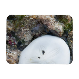 Sand Dollar in the Fiji Reef at Low Tide Rectangular Photo Magnet