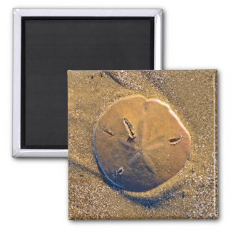 Sand Dollar Revealed On Beach | Hilton Head Island 2 Inch Square Magnet