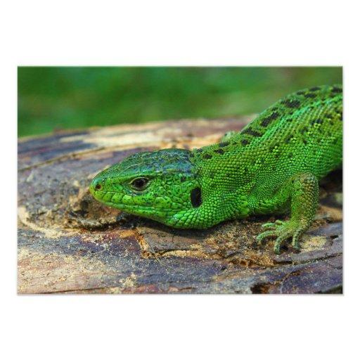 Sand Lizard Male Lacerta Agilis Custom Invitation