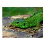 Sand Lizard Male Lacerta Agilis Postcard