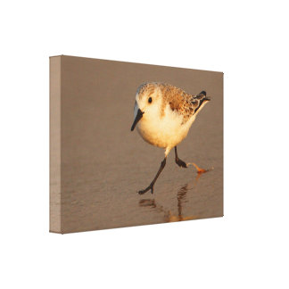sand piper stretched canvas print