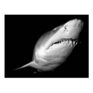 Sand Tiger Shark Postcard