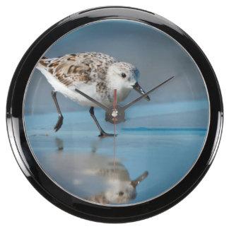 Sanderling Calidris Albe Feeding On Wet Beach Aqua Clocks