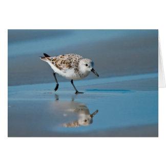 Sanderling Calidris Albe Feeding On Wet Beach Cards
